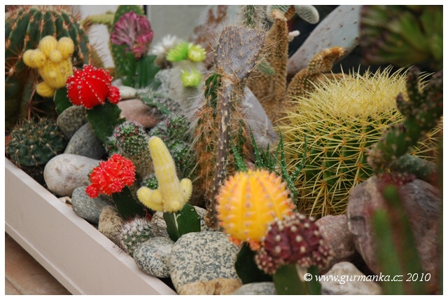 kaktusy kvetou