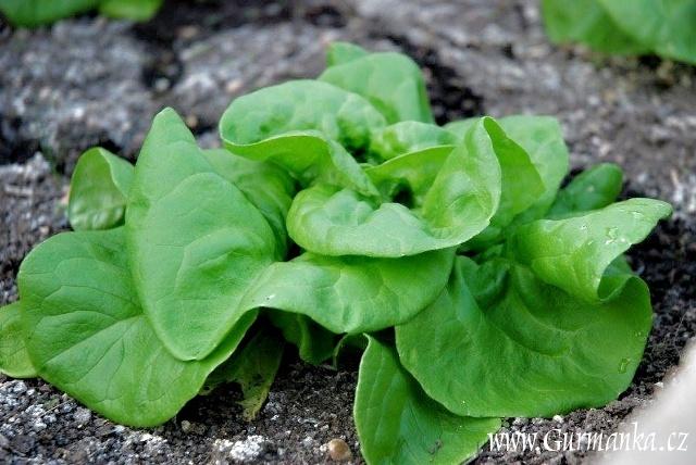 hlávkový salát v mém skleníku