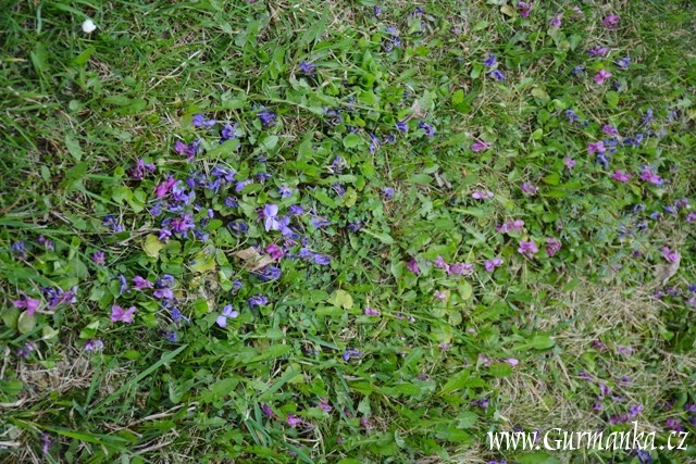 zahrada, fialka, violka vonná, bylinkový ocet