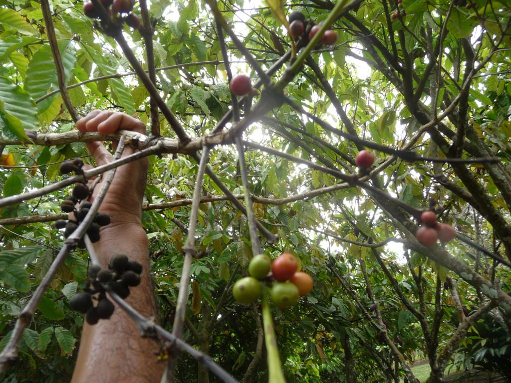 P1070590 káva kávové třešně kompr KAVOVE TRESNE